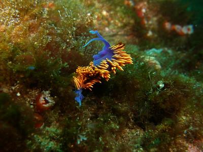 Spanish Shawl, Santa Cruz Island, Channel Island National Marine Sanctuary