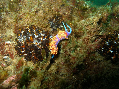 Spanish Shawl and Sea Cucumber, Santa Cruz Island, Channel Island National Marine Sanctuary