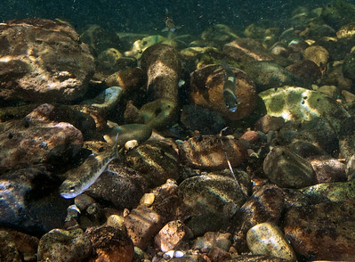 Juvenile Rainbow Trout / Steelhead hang at the edge of a deep pool.
