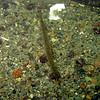Tube-snout<br /> Bowman Bay, Deception Pass SP<br /> 20091017