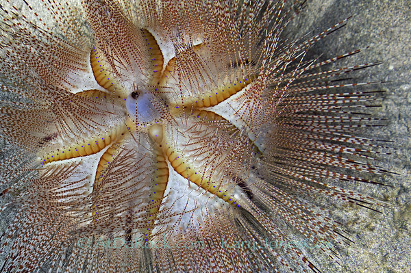 Blue Spotted Urchin