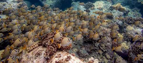 Whitebar Surgeonfish herd grazing at da rock