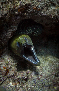 Yellow margin Moray