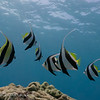 Lone Moorish Idol with Pennant Butterflyfish