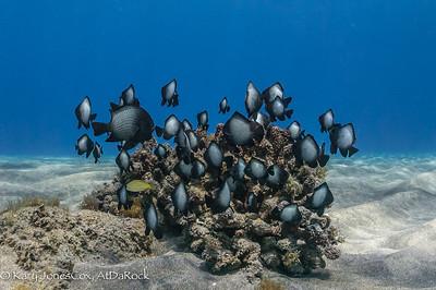 Hawaiian Damsilfish