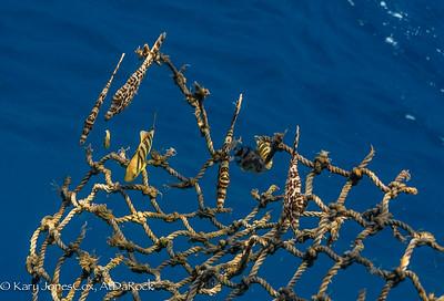 Juvenile Pilotfish and Filefish on net rubbish