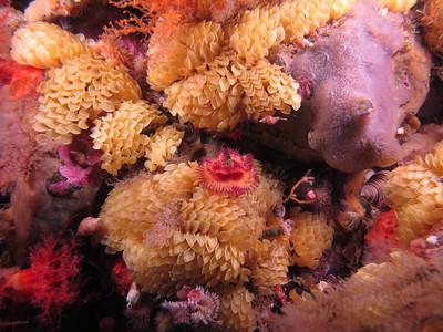 IMG_4522 - Calcareous tubeworm among leafy hornmouth eggs (a marine snail)
