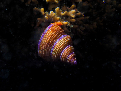P8041556 - Purple-ringed top snail