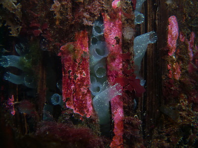 """PIC_0916 - Sea vases - a surreal looking tunicate. These are growing out of cracks in the pilings. The tunicates (as """"urochordates"""") are  highly evolved - having a nerve cord with notochord (evolutionary precursor to a spinal cord)."""