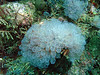 Painted tunicates
