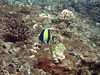 Moorish Idol, a Pacific fish.