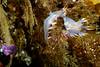 Clown nudibranchs
