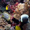 MEYERS, RETICULATED & LONGNOSE BUTTERFLYFISH