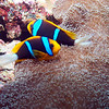 ORANGE FINNED ANEMONEFISH