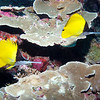 LONG NOSE BUTTERFLYFISH