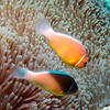 POSSIBLE HYBRID BETWEEN THE PINK & ORANGE FINNED ANEMONEFISH