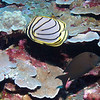 MEYERS BUTTERFLYFISH & LINED BRISTLETOOTH SURGEONFISH