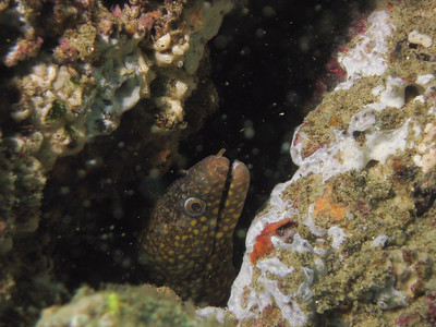 Spoted eel