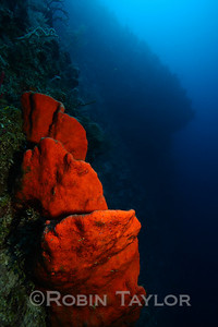 I was happy to find a number of quite large, bright orange sponges at around 100-110ft off the wall today.