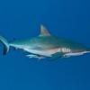 Very pregnant shark!