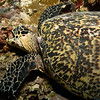 hawksbill turtle eating - Palau