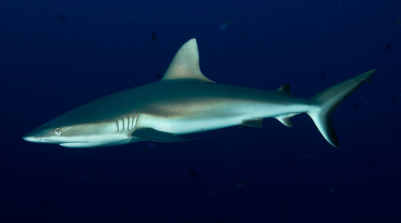 Grey Reef Shark - Palau