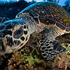 """Who's watching who?"" Hawksbill trutle - Palau"