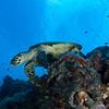 hawksbill - Palau
