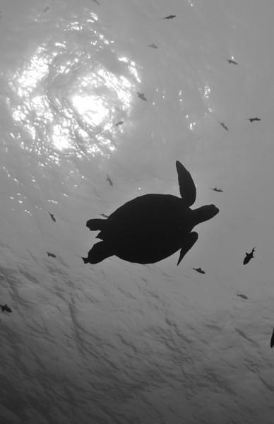 Hawksbill silouette - Palau