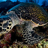 Who's watching who?  Hawksbill trutle - Palau