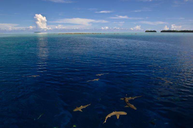 Blacktips - Palau