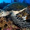 hawksbill turtle - Palau