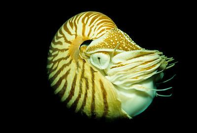 Chambered Nautilus.  Short Dropoff, Palau.