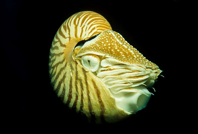 Chambered Nautilus.  Short Dropoff, Palau.