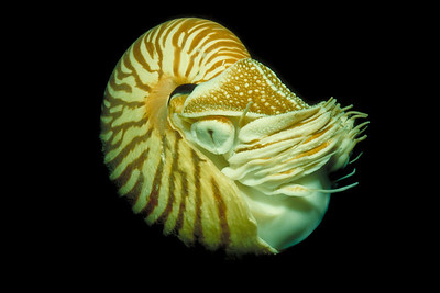 A Chambered Nautilus emerges from the depths of Short Dropoff in Palau.  This image was captured with a Nikonos 28mm closeup kit on Kodak Ektachrome 100 film, f/16, 1/90 sec.  SB-103 strobe.  1994 Beneath The Sea International Imaging Competition - First place, Marine Life. http://www.beneaththesea.org/contest.html  1994 New Jersey Council of Diving Clubs Photo Competition - First place, Macro.
