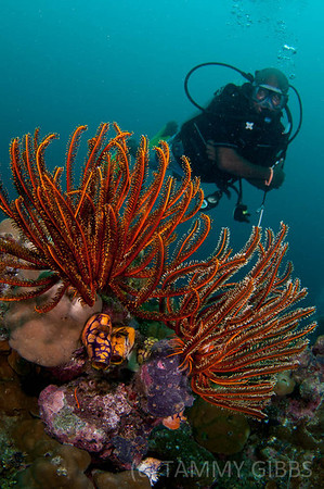 Crinoids and diver