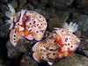 Ride'm Cowboy  (Risbecia tryoni nudibranch with Imperial Shrimp)<br /> This photo took Honorable Mention in the Compact Camera category of the 2007 DEEP Indonesia International Underwater Photo Competition.