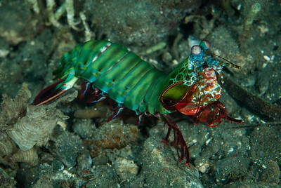 Mantis Shrimp  A large Mantis Shrimp forages the sandy bottom.  Dinah's Beach, Papua New Guinea