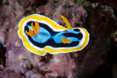 Anna's Chromodoris  Linda's Reef, Papua New Guinea