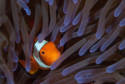 Clownfish  Samarai Wharf, Papua New Guinea