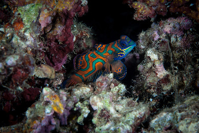 Mandarinfish  Beautiful multi-colored Mandarinfish emerge from the coral rubble at dusk.  Michele's Reef, Papua New Guinea