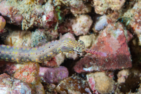 Yellowspotted Pipefish  Samarai Wharf, Papua New Guinea