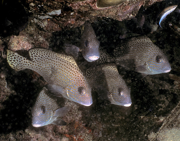 Silver Sweetlips - sub-adult