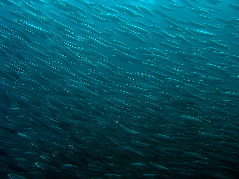 Sardine wall