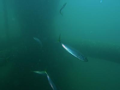 Sardines under the rig