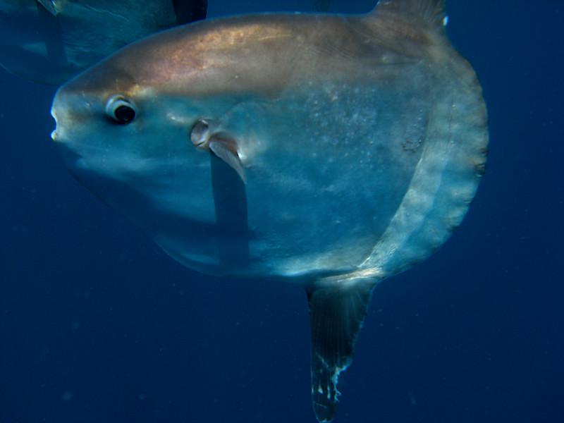 Mola Mola with Sealion love bite