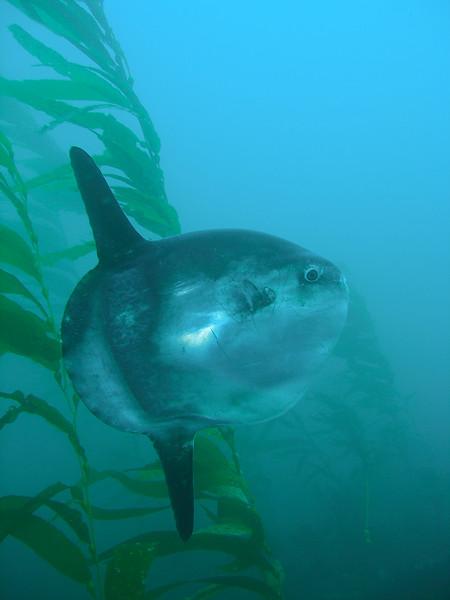 Mola mola on Naples Kelp