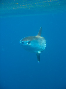 Mola Mola hanging out