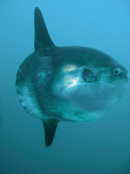 Mola mola Profile