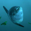 Mola mola and friends